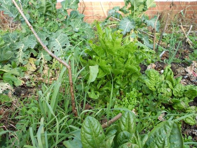 DSCN3223 kales, sorrel, leeks, lambs lettuce, leeks getting going