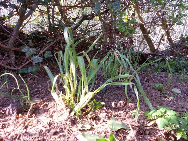 DSCN4695 Babington leek, spring onion in hedge bank