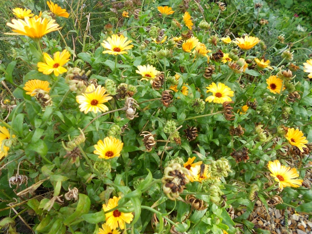 Calendula flowers and seeds still going strong