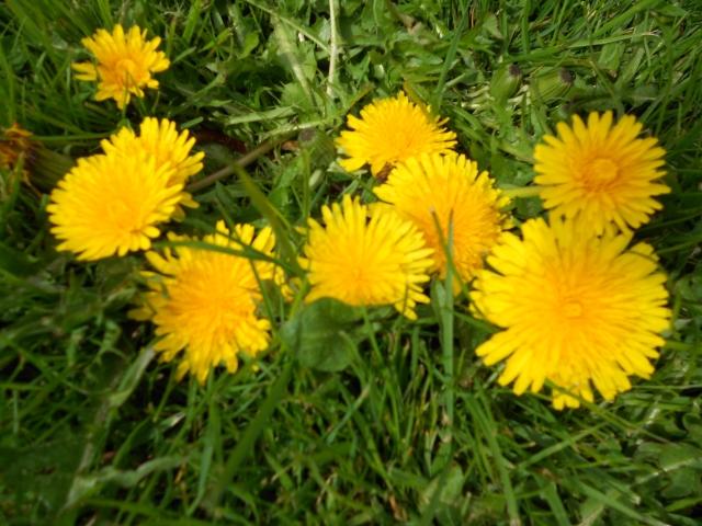 DSCN6172 dandelions in lawn