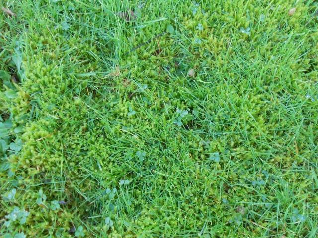 DSCN6879 moss or is it lawn