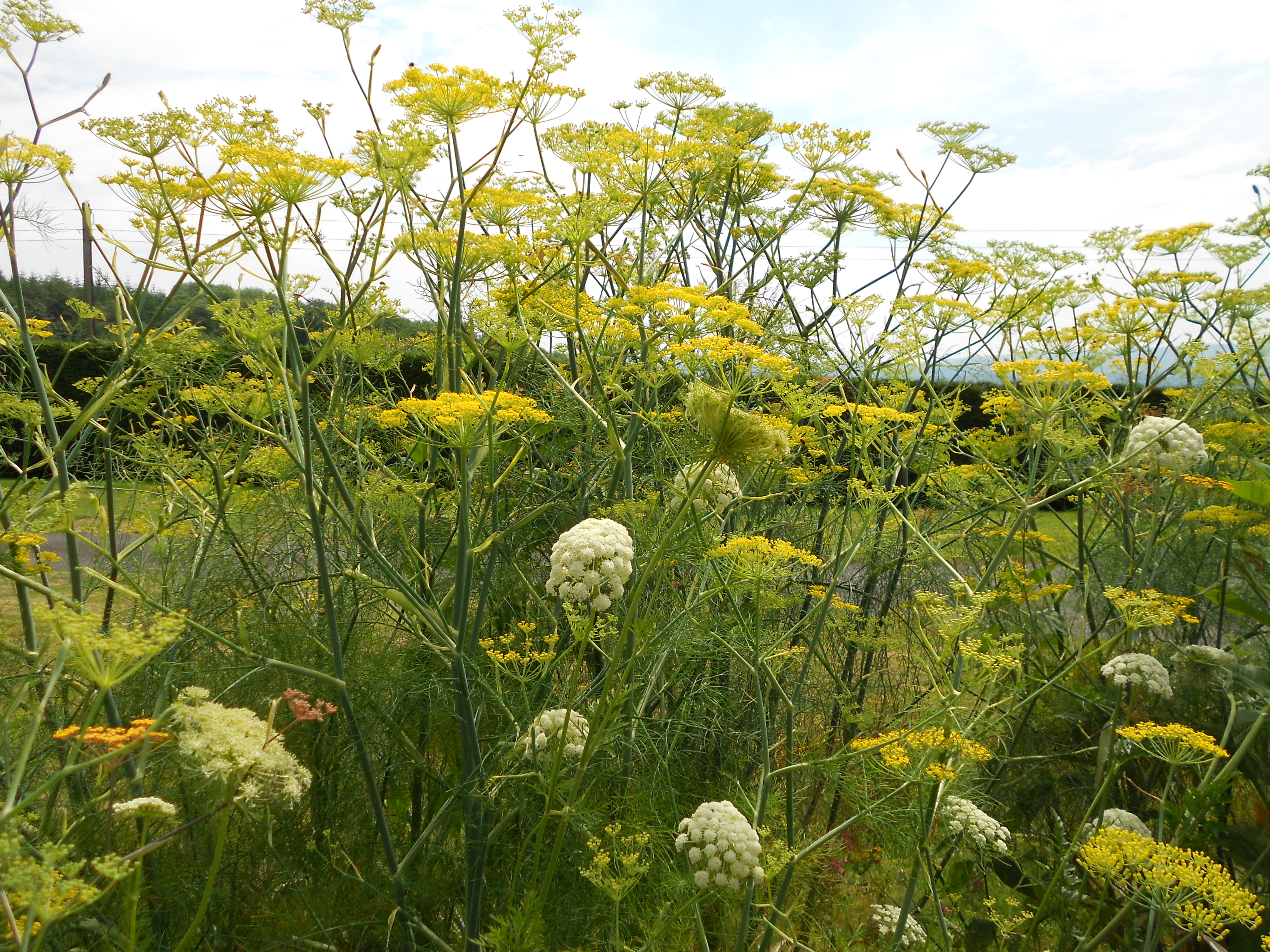 Fennel and carrot in long border summer 2014