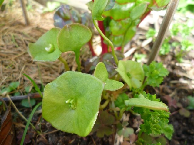 self sown miners lettuce and parsley