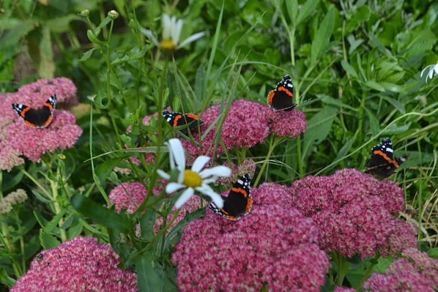 Ice plant, red admiral, ox-eye daisy and sea beet