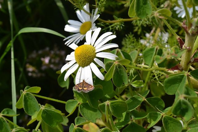 Oca, chamomile and mint moth