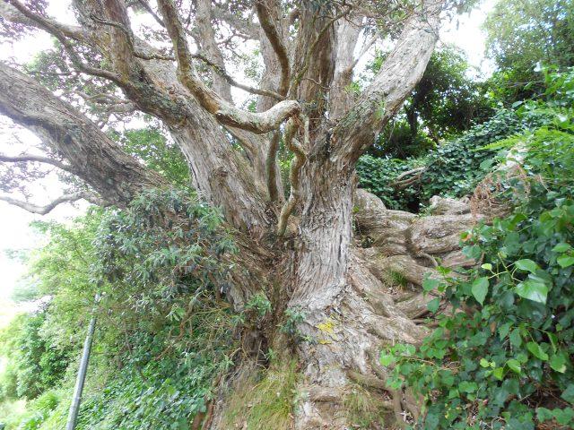 DSCN7201 tree kawhia