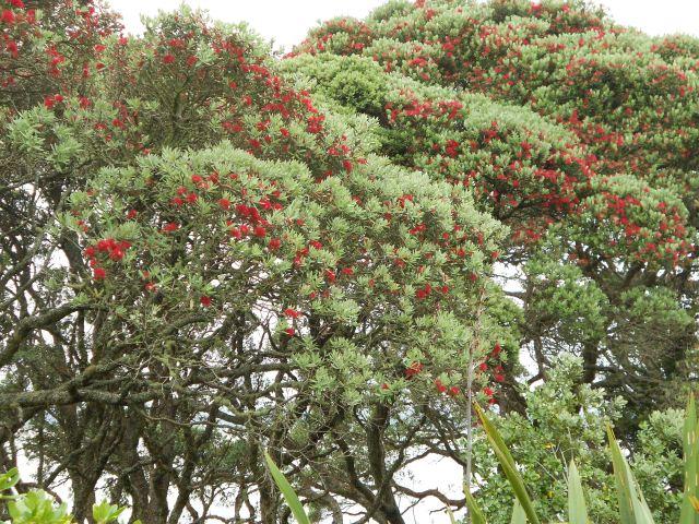 DSCN7205 trees in bloom at kawhia