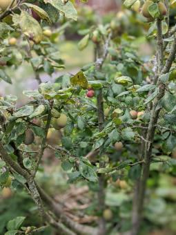 2 Denbigh plum fruit ripening