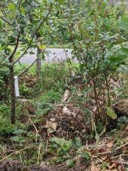 4 small path between gage tree honeyberry bush and Trwyn Mochyn in background